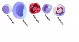Blood smear wbc